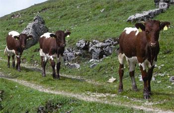 Rinder bevorzugen weichen Boden