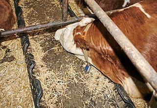 die Kuh liegt bequem ausgestreckt auf dem elastischen ergoBOARD