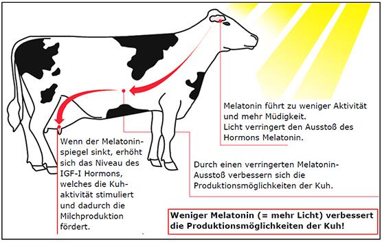 Mehr Licht verbessert Produktivität von Milchkühen
