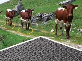 Rinder wählen weichen Boden