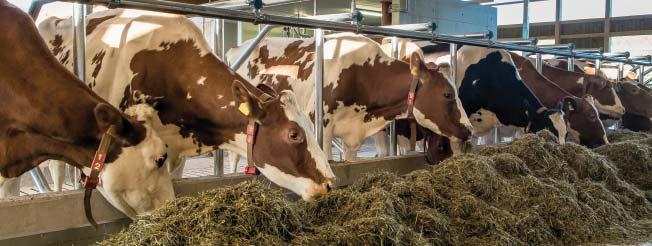 Milchkühe fressen am Fressgitter - Fütterungskontrolle ist wichtig