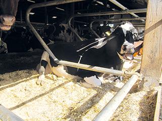 KRAIBURG maxiBOX Komfort-Tiefbox aus Gummi für Milchkühe in der Praxis, Betrieb Weires, Deutschland