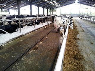Hartpury College, UK, Praxisbericht 10 Jahre KRAIBURG KURA Laufgangbelag im Milchviehstall