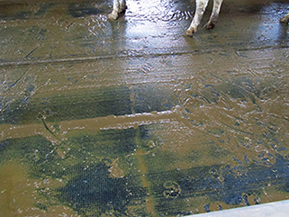 KRAIBURG KURA P Laufgangbelag aus Gummi im Milchviehstall, seit 2002, Rickland Farms, USA