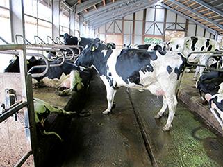 KRAIBURG KURA P Laufgangbelag aus Gummi im Milchviehlaufstall, seit 2003, Michael Gemmer, Deutschland