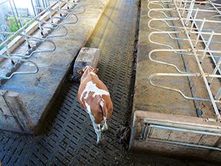 KRAIBURG KURA S Spaltenbodenauflage aus Gummi im Milchviehlaufstall, mit Spaltenroboter, Brandstetter, Deutschland