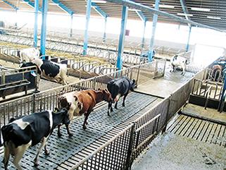 KRAIBURG KURA S Spaltenbodenauflage aus Gummi im Milchviehlaufstall, seit 2002, Betrieb Kartop, Skara, Schweden, Kühe bevorzugen Gummi