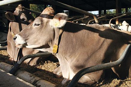 Die Milchkühe auf dem Betrieb Gerth liegen komfortabel in den Tiefboxen, die mit dem Gummikissen KRAIBURG POLSTA ausgestattet sind
