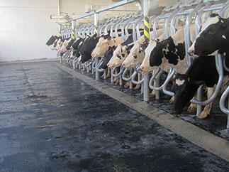 Melkstand in einem Milchviehstall in den Vereinigten Arabischen Emiraten: hier funktioneren KRAIBURG Melkstandmatten aus Gummi auch bei extrem heißen Temperaturen