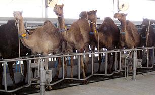 KRAIBURG Gummimatten für Kamele