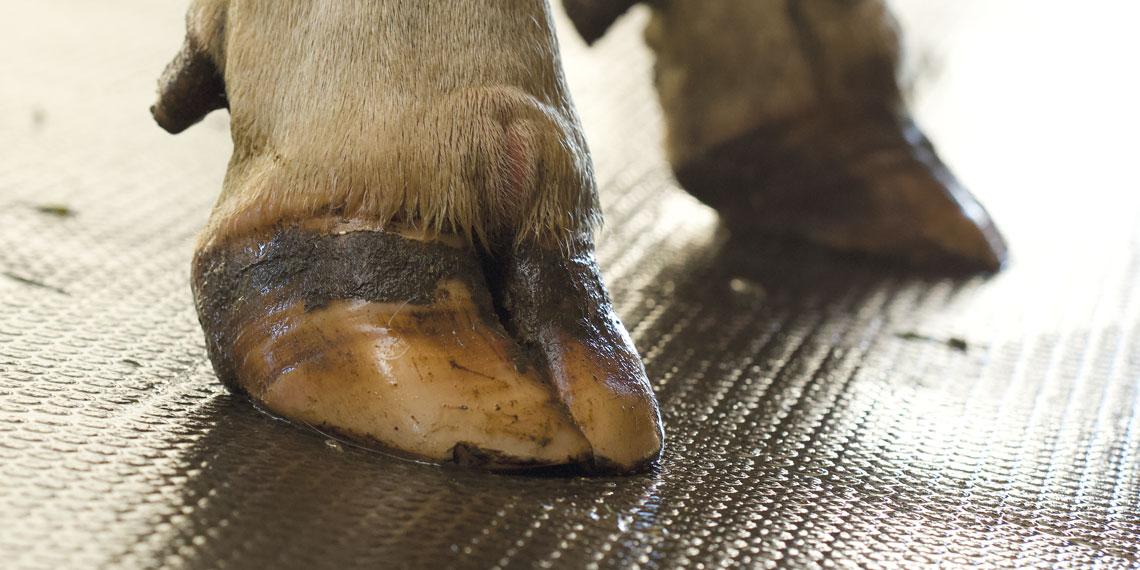 Kühe brauchen trittsicheren Untergrund