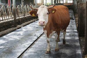 Kühe sind viel aktiver