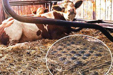 POLSTA: Strohverbrauch, Arbeitszeit, Tierkomfort