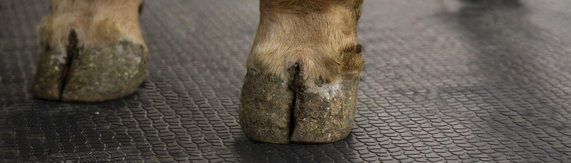 KRAIBURG MONTA: Gummimatte bietet Kühen Halt auf steilen Wegen