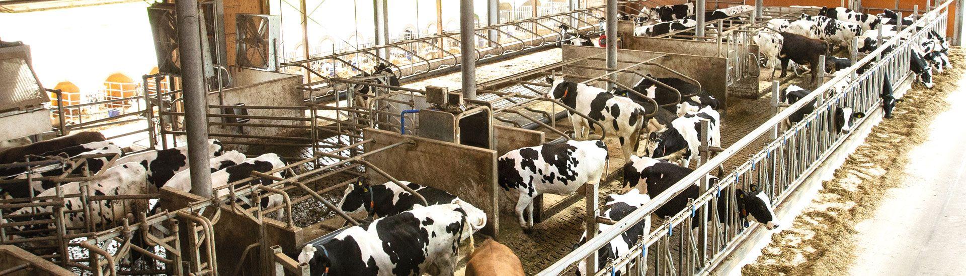 🐄Gummimatten im Stall: Kuhkomfort für mehr Tierwohl