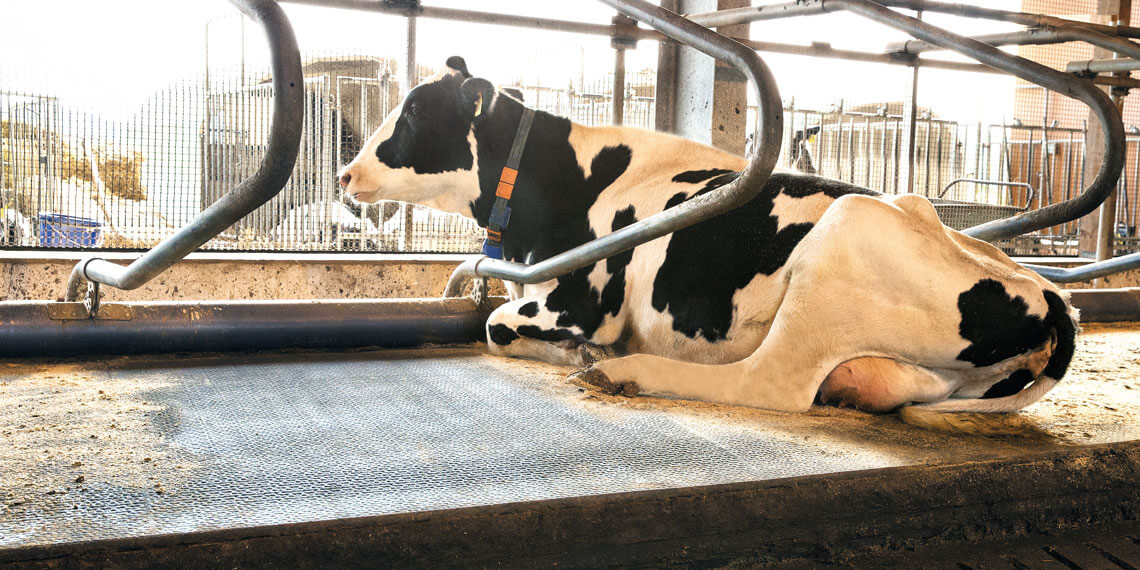 Lying comfort improves animal health and enhances consistently high milk yield.