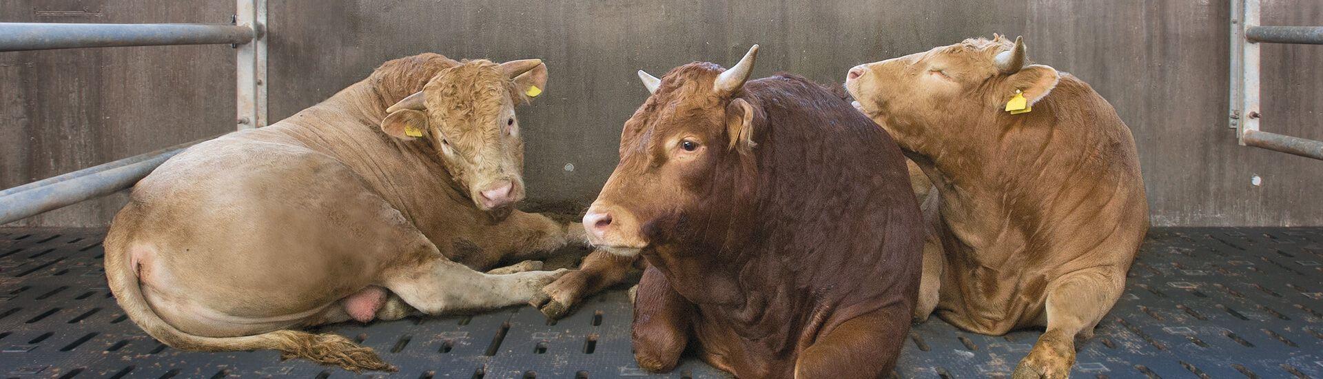 Soft rubber floorings for fattening bulls: healthier animals, better weight gain